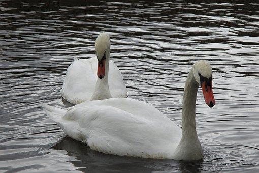Swan, Love, Bird, Swans, Afloat
