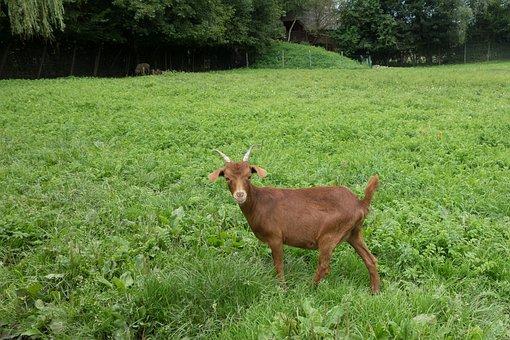 Goat, Animal, Farm, Mammals, Domestic Goat, Nature