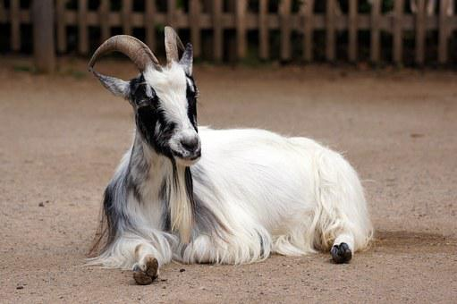 Goat, Animal, Zoo, Nature, Farm, Meadow, Billy Goat