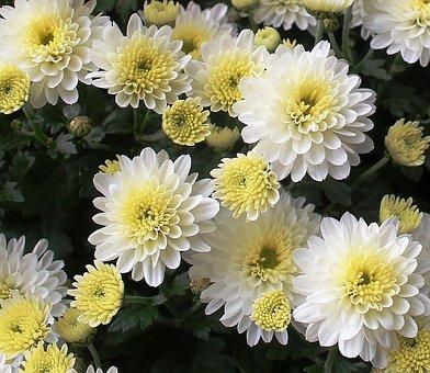 Asters, Flowers, Bloom, White, Beautiful