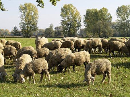 Flock Of Sheep, Nature Reserve, Bi Eden Sand