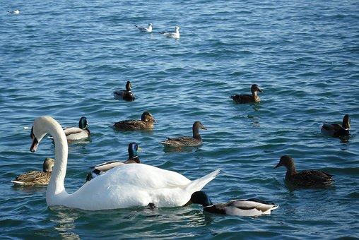 Swan, Duck, Birds, Waterfront, Lake Balaton