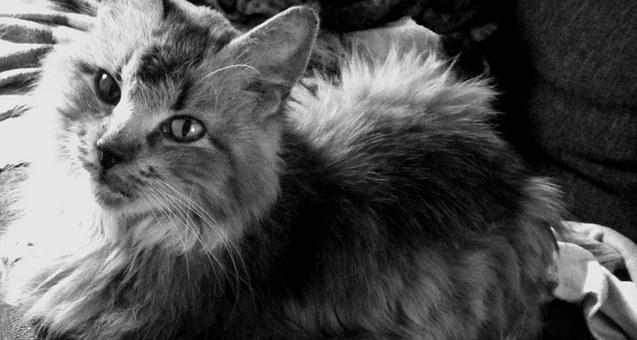 Cat, Cat Face, Head, Adidas, Mieze, Black And White
