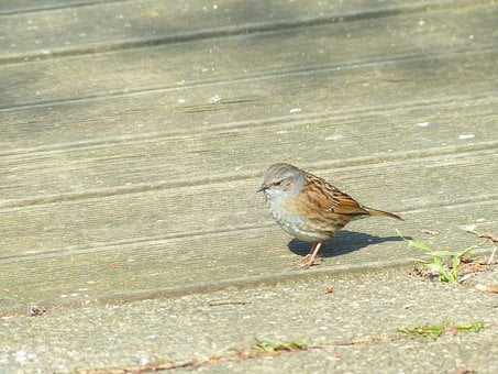 Dunnock, Bird, Animal, Brown, Retired