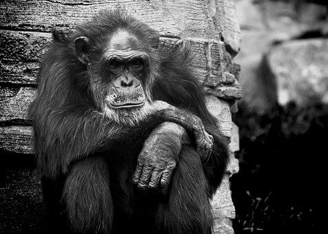 Monkey, Chimpanse, Black White, Bw, Animal, Torment