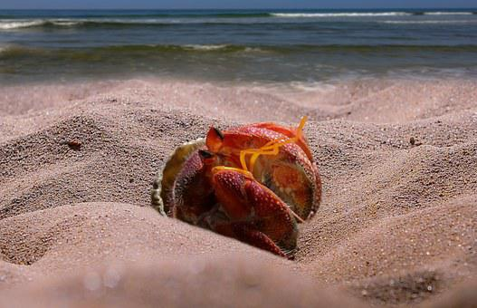 Cancer, Sea, Beach, Animal, Hermit Crab, Sand, Scissors