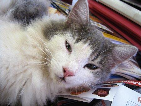 Cat, Kitten, White And Grey, Soft, Fluffy, Ragdoll