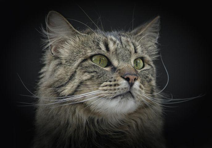 Cat, Norwegian Forest Cat, Green Eyes, Cat's Eyes