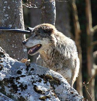 Wolf, Animal, Enclosure, Predator, Furry, Landscape