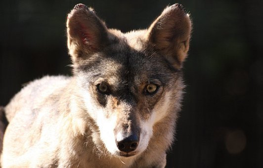 Face, Fox, Looking, Portrait, Staring, Wolf