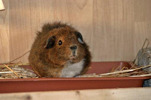 Guinea Pig, Josie, Rex Guinea Pig, Young, Fluffy