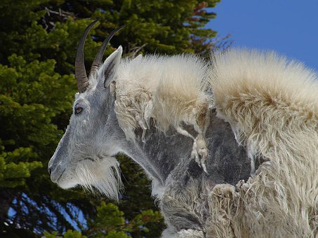 Billy Goat, Goat, Goatee, Fur, Zerupft, Old, Livestock