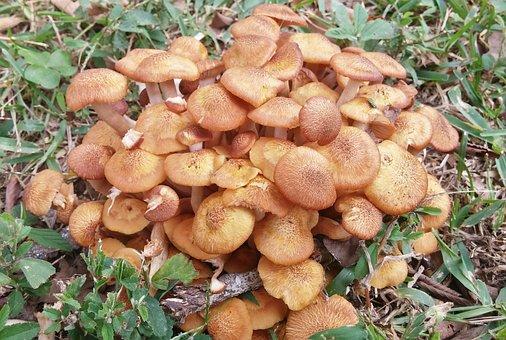 Honey Fungus, Fungus, Fungi, Toadstools, Mushrooms, Cap
