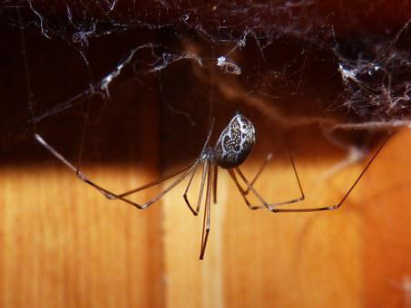 Spider, Spider Zancuda, Web, Insect, Macro