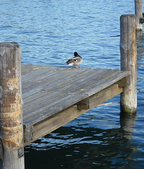 Duck, Birds, Waterfront, Lake Balaton, Balatonfüred