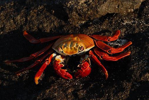 Crab, Sally Lightfoot, Ocean, Marine