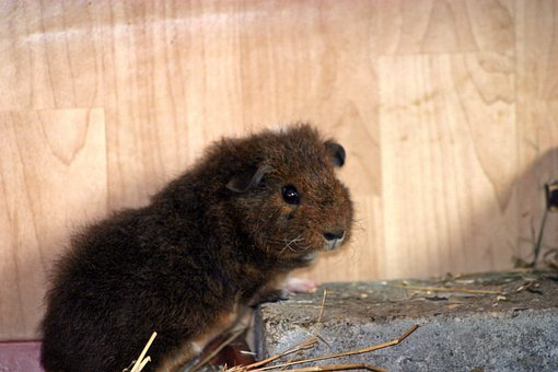 Guinea Pig, Josie, Pet, Young, Fluffy, Goldagouti White