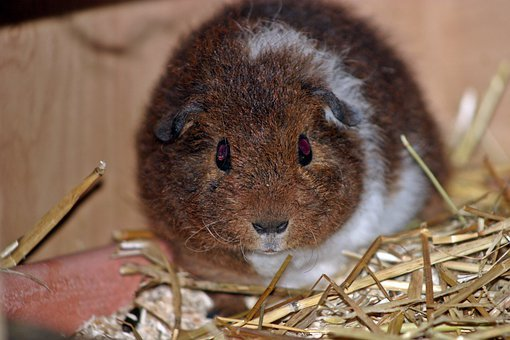 Guinea Pig, Josie, Pet, Young, Babies, Fluffy