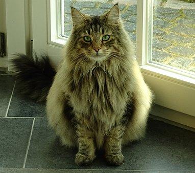 Cat, Pet, Norwegian Forest Cat