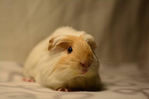 Guinea Pig, Cavy, Cute, Pet, Rodent