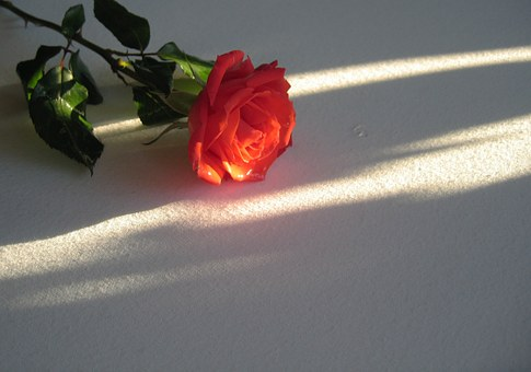 Rose, Red, Blossom, Bloom, Flower, White, Light, Shadow