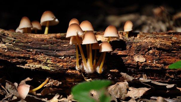 Snake Mushroom, Forest, Summer, Nature