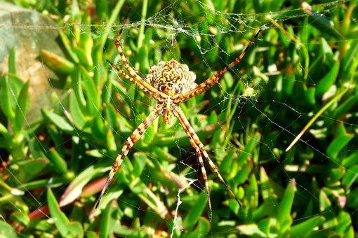 Spider, Arachnid, Spider On Web, Close-up, Spider Web