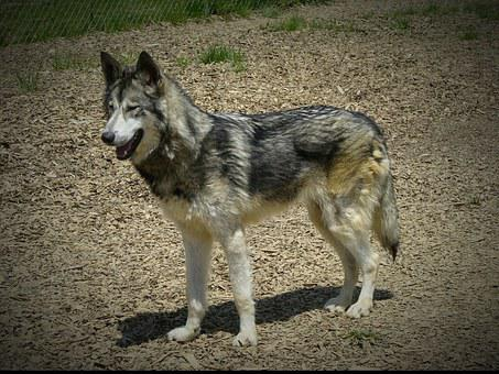 Wolf Hybrid, Wildlife, Animal, Wolf, Timber, Hybrid