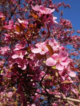 Tree, Blooming, Crab Apple, Branches, Nature, Blossom