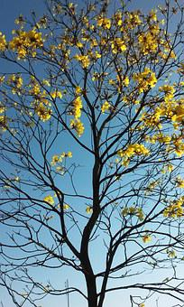 Spring, Flower Ipê, Tree, Ramos, Yellow Leaves