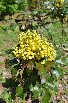 Holly, Flower, Yellow, Yellow Flower, Plant, Blossom