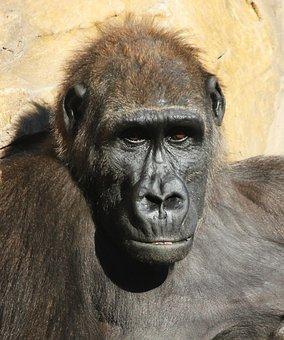 Monkey, Bioparc, Valencia, Animal, Zoo, Spain, Bio Park