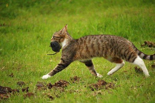 Cat, Kitten, Mieze, Mackerel, Domestic Cat, Tiger Cat