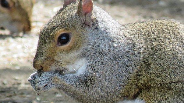 Animal, Close Up, Close-up, Closeup, Grey Fur