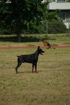 Doberman, Dog, Animal, Competition