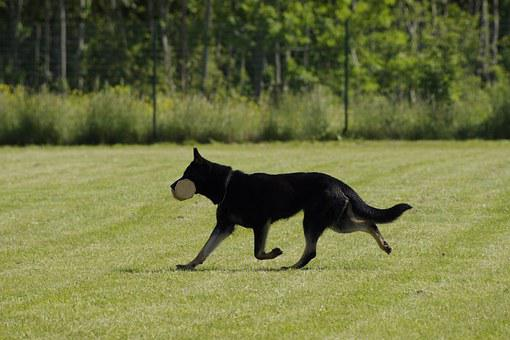 Dog, German Shepherd, Retrieving, Competition