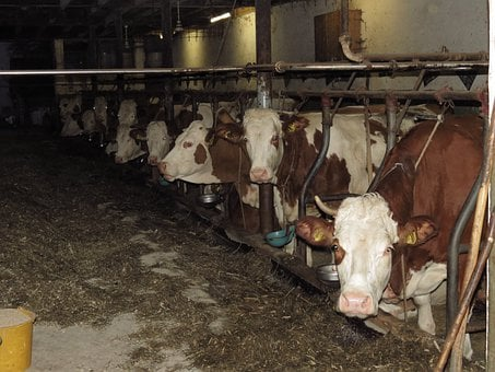 Cows, Cowshed, Farm, Stall, Barn, Eat