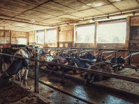 Cow, Cowshed, Cows, Farm, Stall