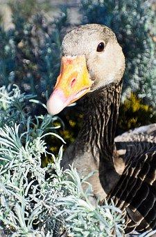 Animal, Beak, Bird, Brown, Domestic, Duck, Farm