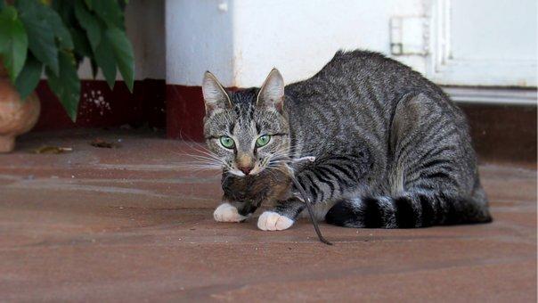 Cat, Feline, Rat, Rodent, Prey, Hunting, Catch