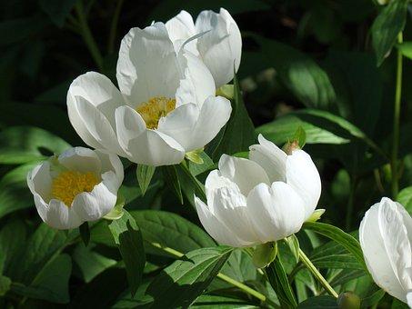 Peonies, Flowers, White, Leaves, Summer