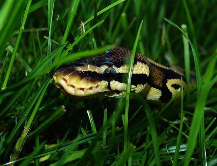 Snake, Ball Python, Garden, Camouflage, Foraging