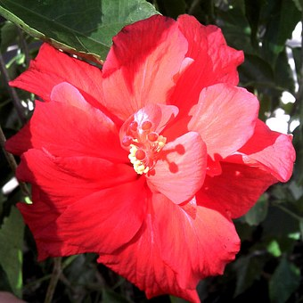 Red Hibiscus, Hibiscus, Double Bloom, Blooming, Blossom