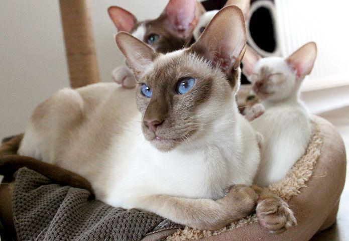 Family, Cat, Siamese Cat, Mother, Children, Kitten, Fur