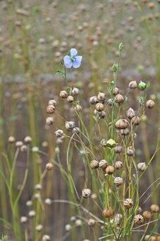 Len, Flower, Plant, Summer, Macro, Blue, Nature, Plants