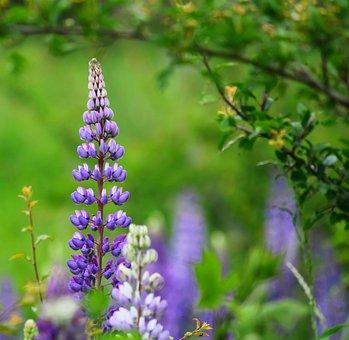 Flowers, Flower, Nature, Plant, Summer, Lupinien
