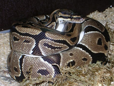 Ball Python, Python Regius, Snake, Reptile, Constrictor