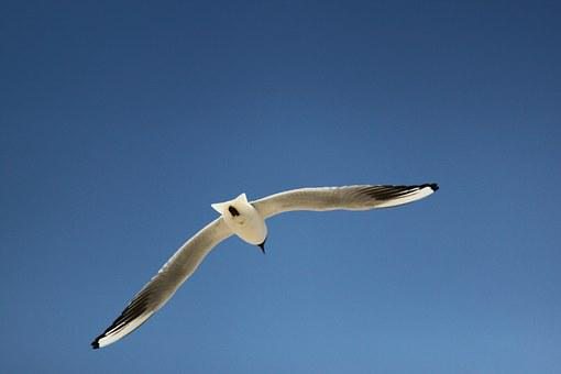 Seagull, Sky, Bird, Blue, Flying, Baltic Sea