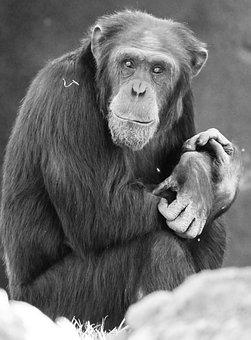 Monkey, Valencia, Animal, Zoo, Bioparc, Spain, Bio Park
