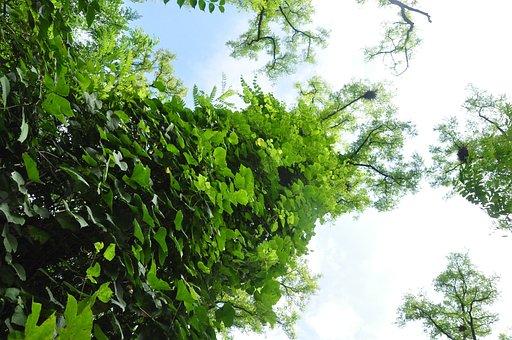 Acacia, Subfamily Faboideae, Green Park